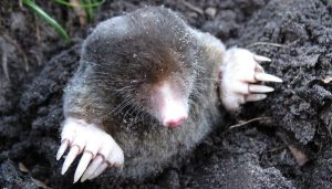 Banbury Pest Control for moles